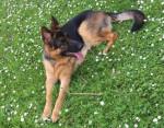 Nougat - Männlich Deutscher Schäferhund (1 Jahr und 9 Monate)