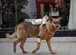 pilou - Männlich Deutscher Schäferhund