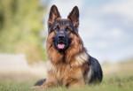 Deutscher Schäferhund Bild