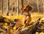 Un Teckel dans une forêt au milieu des feuilles d'automne