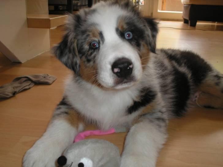 Layla - Australian Shepherd (4 Monate)