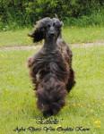 Esthelle - Afghanischer Windhund