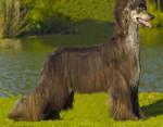 Yann - Afghanischer Windhund