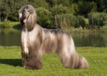 Yannick Lévrier Afghan - Afghanischer Windhund