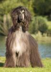 Naomi - Afghanischer Windhund
