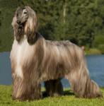 Yannick - Afghanischer Windhund