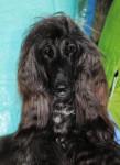 Esthelle belle chienne Lévrier Afghan - Afghanischer Windhund