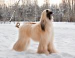 Afghanischer Windhund Bild