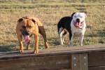 Staffordshir bull terrier Bild