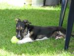 badou - Männlich Jack Russell Terrier (4 Monate)