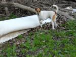 Tango - Männlich Jack Russell Terrier (3 Jahre)