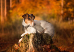 Un Jack Russel assis sur une souche d'arbre dans une forêt à l'automne