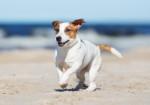 Jack Russell Terrier Bild