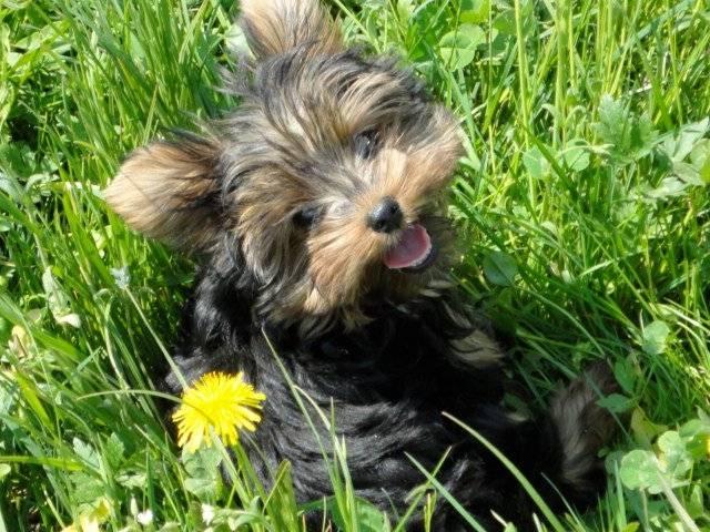 Mischa - Männlich Yorkshire Terrier (11 Monate)