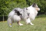 Shetland Sheepdog Bild