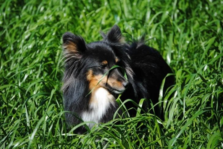 Lilly - Shetland Sheepdog (5 Jahre)