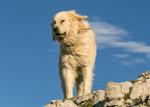 Pyrenäenberghund Bild