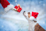American Staffordshire Terrier Bild