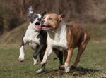 Deux Amerrican Staffordshire Terriers en train de jouer ensemble