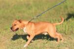 Un American Staffordshire Terrier tire sur sa laisse pendant la promenade