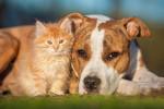 Un Amstaff et un chaton côte à côte
