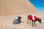 Peruanische Nackthund Bild