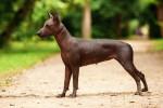 Mexikanischer Nackthund Bild