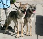 Enyéto Endiguélo d'Emozioni Breizh 11 mois - Saarlooswolfhund (11 Monate)