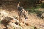 Enyéto Endiguélo d'Emozioni Breizh - Saarlooswolfhund