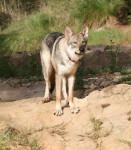 Loup de saarloos : Enyéto 11 mois - Saarlooswolfhund (11 Monate)