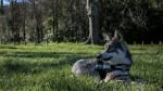 San - Saarlooswolfhund (1 Jahr)