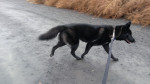 Ryker - Männlich Saarlooswolfhund (1 Jahr)