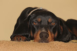 Black and Tan Coonhound Bild