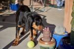 Black and Tan Coonhound Bild