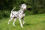 Dalmatiner Bild