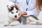 Un chiot Husky Sibérien se fait examiner par le vétérinaire