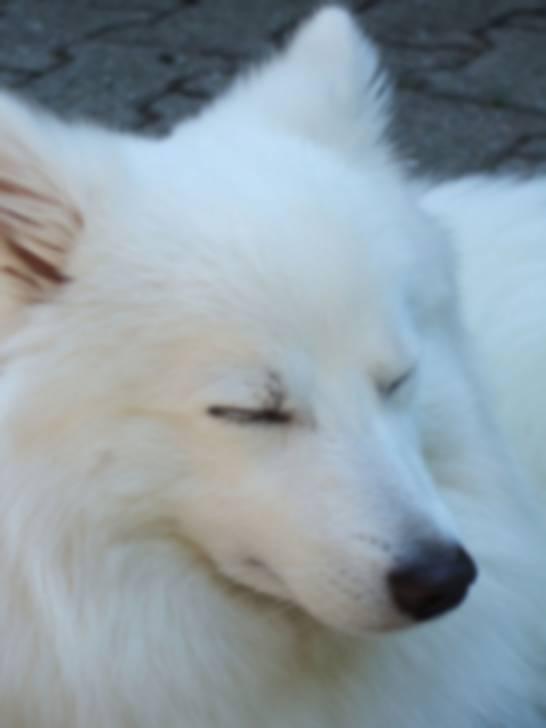 Puschel - wie ein Polarfuchs - Männlich Japan Spitz (1 Jahr)