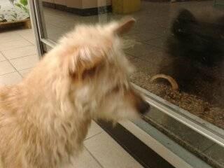 Cindy - Australian Terrier (11 Jahre)