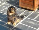 Bingo 4 ans - Cavalier King Charles (4 Jahre)