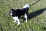 Peyton - Cavalier King Charles (2 Jahre und 3 Monate)