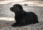 Labrador Bild