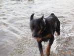 Syrah - Rottweiler (11 Jahre)