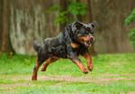 Un Rottweiler en train de courir dans un champ