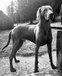 M'TCHAI-ICI De Gray Ghost de la Chevalerie - Männlich Weimaraner (2 Jahre und 7 Monate)