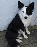 Fly - Border Collie (6 Monate)