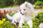 Un chiot Samoyède assis au milieu des fleurs