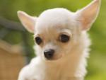 baxter - Männlich Chihuahua (3 Monate)
