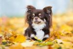 Chihuahua Bild