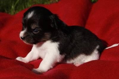 Olea - Chihuahua