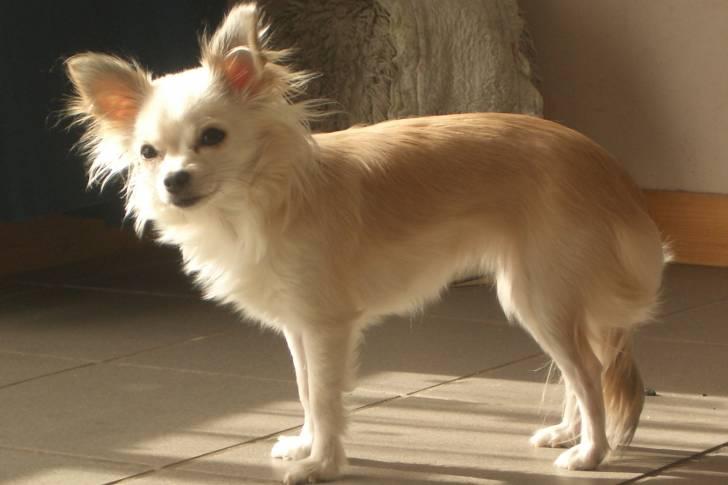Luna - Chihuahua (6 Jahre)